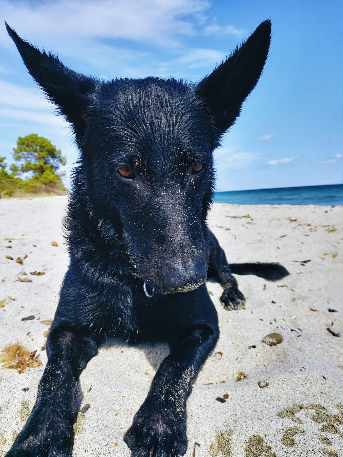 malinois ryok am strand von korsika