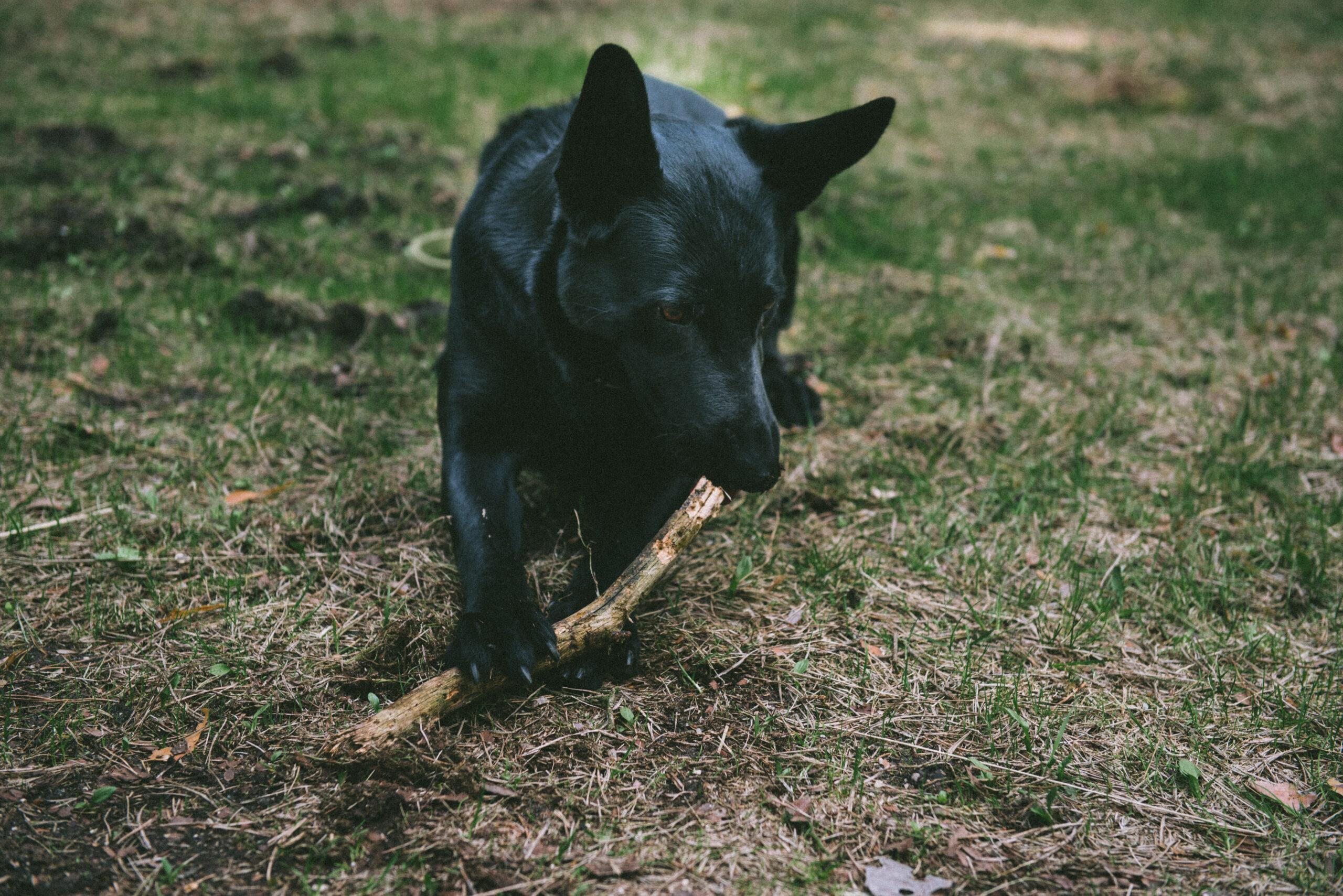 Schäferhund kaut an Stock