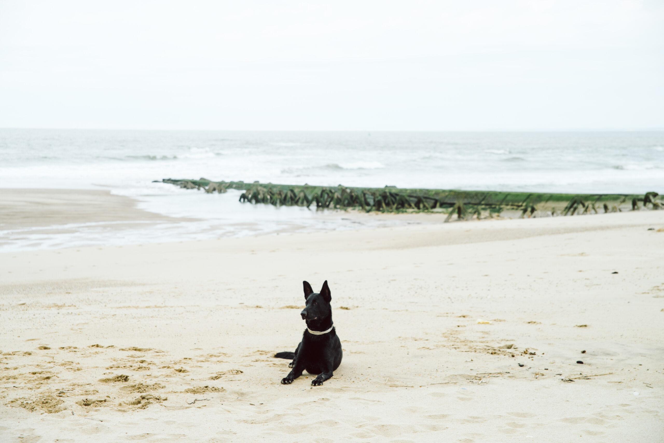 schäferhund im Sand am Meer